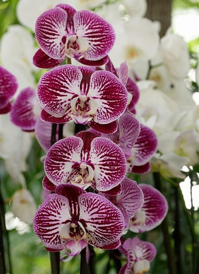 виды орхидей  цимбидиум